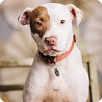 Adopt A Pet :: Candy Cane - Portland, OR