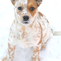 Adopt A Pet :: adoption pending Clara - Delano, MN