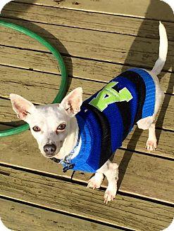 Chihuahua/Italian Greyhound Mix Dog for adoption in Seattle, Washington - Cornelius - Sweet Shy Boy