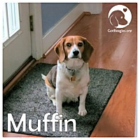 Adopt A Pet :: Muffin - Chicago, IL