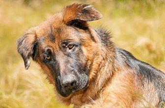 German Shepherd Dog Dog for adoption in Newport Beach, California - Thor