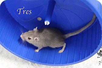 Gerbil for adoption in Bradenton, Florida - Tres