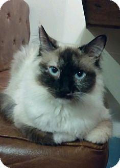 Snowshoe Cat for adoption in Woodstock, Georgia - Sheba