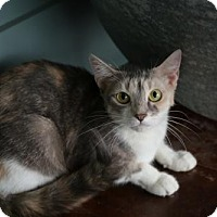 Domestic Shorthair Cat for adoption in San Antonio, Texas - Brandi
