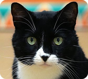 Domestic Shorthair Cat for adoption in Norwalk, Connecticut - Figaro