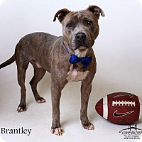 American Pit Bull Terrier Dog for adoption in Luling, Louisiana - Brantley