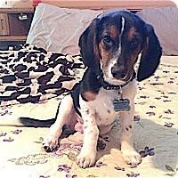 Adopt A Pet :: Biggles - Houston, TX