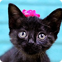 Domestic Shorthair Kitten for adoption in Fort Lauderdale, Florida - Coraline