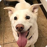 Adopt A Pet :: Miley - Watauga, TX
