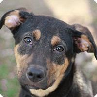 Adopt A Pet :: Sammie - ADOPTION IN PROGRESS - Nanuet, NY