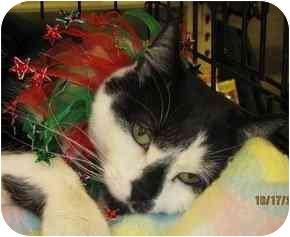 Domestic Shorthair Cat for adoption in Raleigh, North Carolina - Ebony