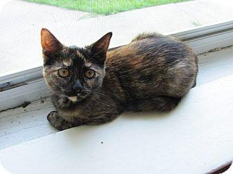 Domestic Shorthair Kitten for adoption in Milwaukee, Wisconsin - Pop Tart