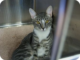 Domestic Shorthair Cat for adoption in Secaucus, New Jersey - Hans