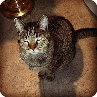 Domestic Shorthair Cat for adoption in Phoenix, Arizona - Gilbert