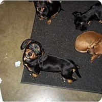Adopt A Pet :: Isabelle - Adamsville, TN