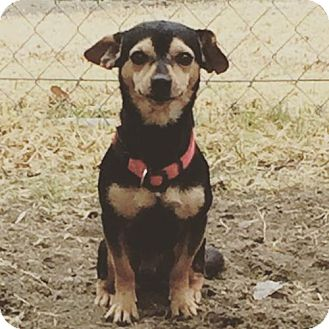 Rat Terrier/Chihuahua Mix Dog for adoption in Ramona, California - Tommy