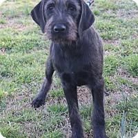Adopt A Pet :: Fitz (Needs Foster) - Washington, DC
