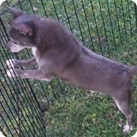 Adopt A Pet :: Dobi - Manchester, NH