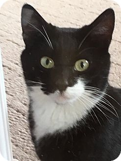 Domestic Shorthair Cat for adoption in Whitehall, Pennsylvania - Mitsy *Courtesty Post*