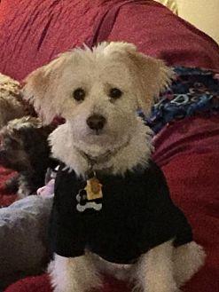 Terrier (Unknown Type, Medium)/Maltese Mix Dog for adoption in Harrisburg, Pennsylvania - Bubba