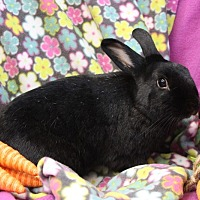 Lionhead Mix for adoption in Erie, Pennsylvania - Elly
