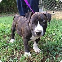 Adopt A Pet :: BeiBei - Plainfield, CT