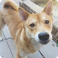 Adopt A Pet :: Niwa - Manassas, VA