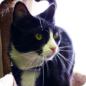 Domestic Shorthair Cat for adoption in Washougal, Washington - Emily