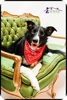 Border Collie Mix Dog for adoption in Richardson, Texas - Cowboy