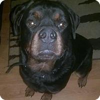 Adopt A Pet :: Cato *STL  AREA FOSTER NEEDED* - O'Fallon, MO