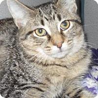 Domestic Shorthair Kitten for adoption in Waupaca, Wisconsin - Peanut