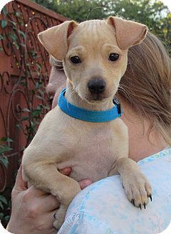 Terrier (Unknown Type, Small) Mix Puppy for adoption in Sonoma, California - Petey