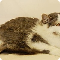 Domestic Mediumhair Cat for adoption in Toccoa, Georgia - Twizzler