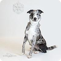 Adopt A Pet :: Peppa - Naperville, IL