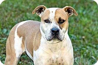 American Pit Bull Terrier Dog for adoption in Cashiers, North Carolina - Rufus