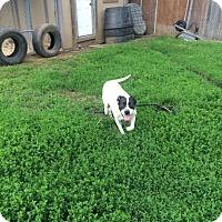 Adopt A Pet :: Bolt - Sioux Falls, SD