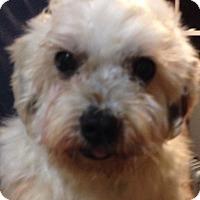 Adopt A Pet :: Dakota - Chesterfield, MO