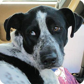 Great Dane/Labrador Retriever Mix Dog for adoption in Richmond, Virginia - Blake