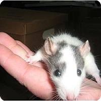 Adopt A Pet :: Lila - Cincinnati, OH