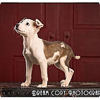 Adopt A Pet :: Cyrus - Owensboro, KY