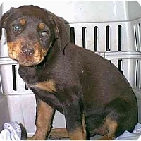 Adopt A Pet :: Jatara - dewey, AZ