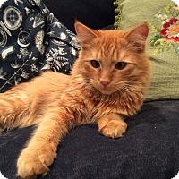 Adopt A Pet :: Pluto - Arlington, VA