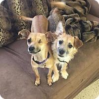 Adopt A Pet :: Rocky *Needs Foster Too* - Las Vegas, NV
