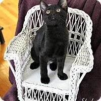 Adopt A Pet :: Sheba - Knoxville, TN