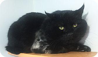 Domestic Shorthair Cat for adoption in Colorado Springs, Colorado - Bear
