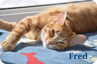 Domestic Shorthair Cat for adoption in Huntsville, Ontario - Fred - Purr Master!