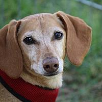 Dachshund Dog for adoption in Henderson, Nevada - Maverick