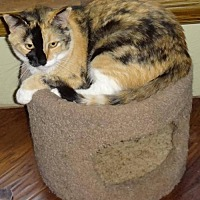 Calico Cat for adoption in Lawton, Oklahoma - AUTUMN