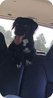 Flat-Coated Retriever/Golden Retriever Mix Dog for adoption in Stamford, Connecticut - Sara