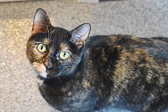 Domestic Shorthair Cat for adoption in Lincoln, Nebraska - Mona